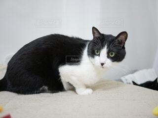 振り向く猫の写真・画像素材[3716574]