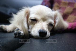 犬のお昼寝の写真・画像素材[3713288]