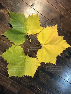 紅葉した大きな葉の写真・画像素材[3872831]