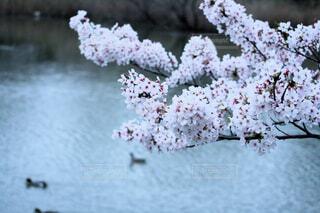 池の辺りの満開の桜の写真・画像素材[4294743]