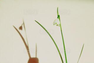 一輪のすずらんの花の写真・画像素材[4327252]