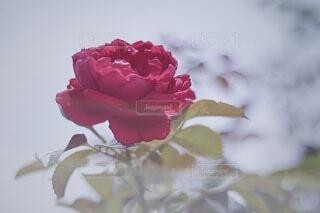真っ赤な薔薇の写真・画像素材[3723937]