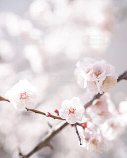 桜ふわりの写真・画像素材[4305256]