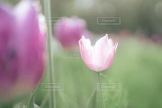 ピンクのチューリップの写真・画像素材[4354891]
