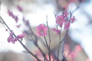 梅の花のクローズアップの写真・画像素材[4395343]