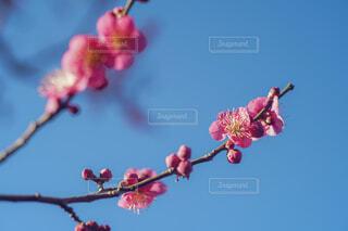 梅の花と空の写真・画像素材[4395358]
