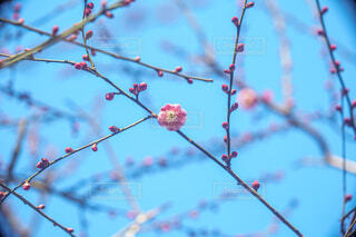 梅の花と空の写真・画像素材[4395365]