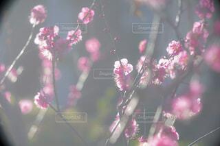 光の中の梅の花の写真・画像素材[4395376]