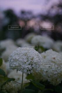 夕焼けと紫陽花の写真・画像素材[4616748]