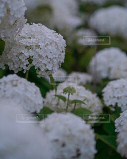白のアジサイの写真・画像素材[4616749]