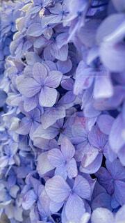 紫陽花のクローズアップの写真・画像素材[4616752]