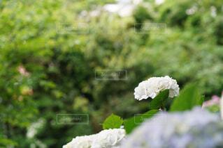白の紫陽花の写真・画像素材[4616750]