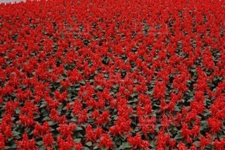 花の畑の写真・画像素材[3758614]