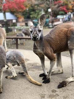 自然,動物,紅葉,観光地,テーマパーク,サファリパーク,カンガルー,放し飼い,行楽