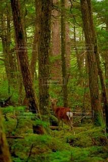 コケの森で出会ったシカの写真・画像素材[3727106]