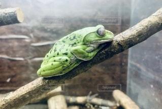 眠るカエルの写真・画像素材[3730138]