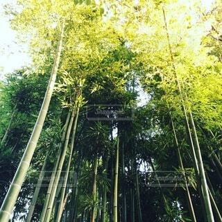 竹林の写真・画像素材[3735481]