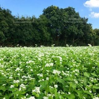 蕎麦畑の写真・画像素材[3735476]