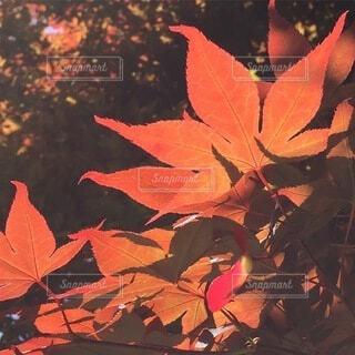 紅葉の写真・画像素材[3735501]