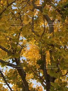 銀杏の木の写真・画像素材[3741807]