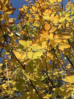 黄色く紅葉する葉の写真・画像素材[3741860]