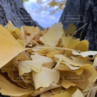 銀杏の葉の写真・画像素材[3741884]