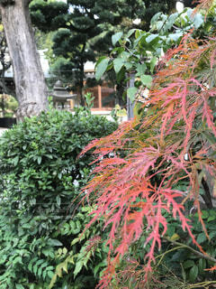 赤い葉の写真・画像素材[3741891]