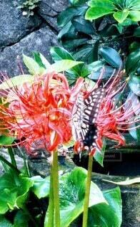 彼岸花と蝶々の写真・画像素材[3759142]