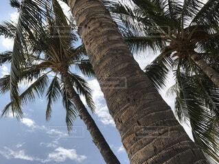 ハワイ ワイキキのヤシの木の写真・画像素材[3822648]