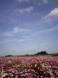 空とコスモスの写真・画像素材[3788980]