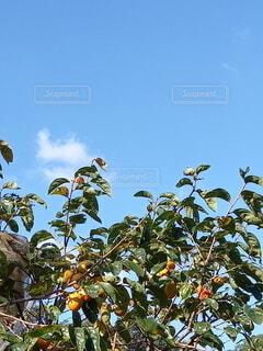 柿の木のクローズアップの写真・画像素材[3799117]