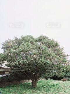 栗の木クローズアップの写真・画像素材[3799118]