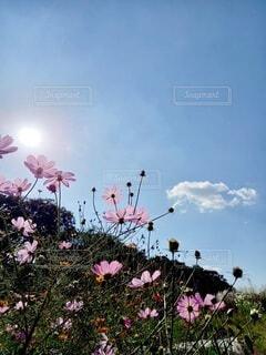 空とコスモスの写真・画像素材[3799182]