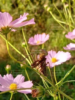 秋のカマキリの写真・画像素材[3799179]