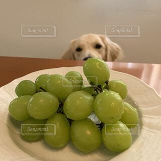 シャインマスカット興味津々の愛犬の写真・画像素材[3749983]