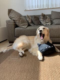 あくびする愛犬の写真・画像素材[3752911]