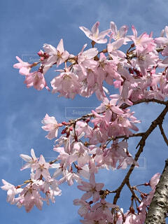 青空とピンクの桜の写真・画像素材[4288436]