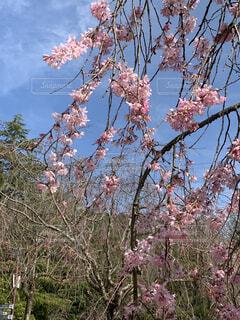 木の上のピンクの花のグループの写真・画像素材[4288491]
