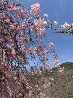 木の上のピンクの花のグループの写真・画像素材[4288632]