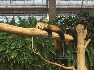 枝の上で寛ぐレッサーパンダの写真・画像素材[3797943]