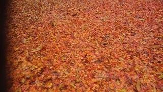 紅葉の絨毯の写真・画像素材[3749635]