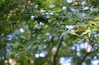 緑のモミジの写真・画像素材[3827188]