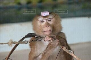 口を開けた猿の写真・画像素材[3751695]