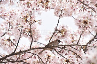 桜と小鳥の写真・画像素材[3751702]
