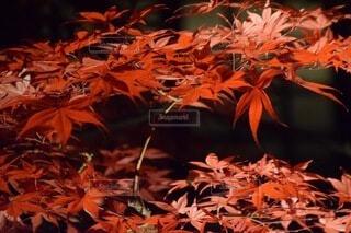 真っ赤な紅葉の写真・画像素材[3751887]