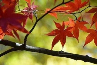 真っ赤な紅葉の写真・画像素材[3751882]