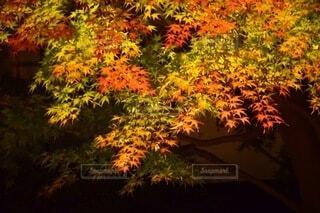 紅葉のライトアップの写真・画像素材[3753647]