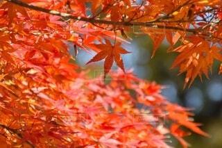 真っ赤な紅葉の写真・画像素材[3807801]