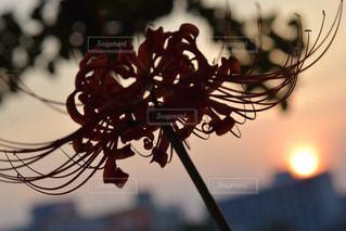 ファッション,自然,風景,空,花,秋,太陽,雲,癒し,曼珠沙華,夕陽,福岡,一眼レフ,陽射し,加工なし,Nikon,秋空,草木,美,nikkor