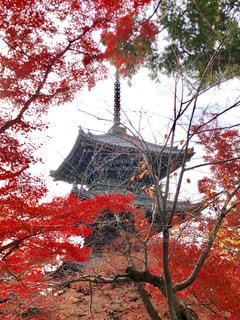 赤い葉の木の写真・画像素材[1639109]
